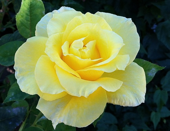 06-28 Perfect Yellow Rose 2