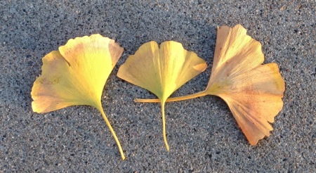 12-10 Gingko Trio