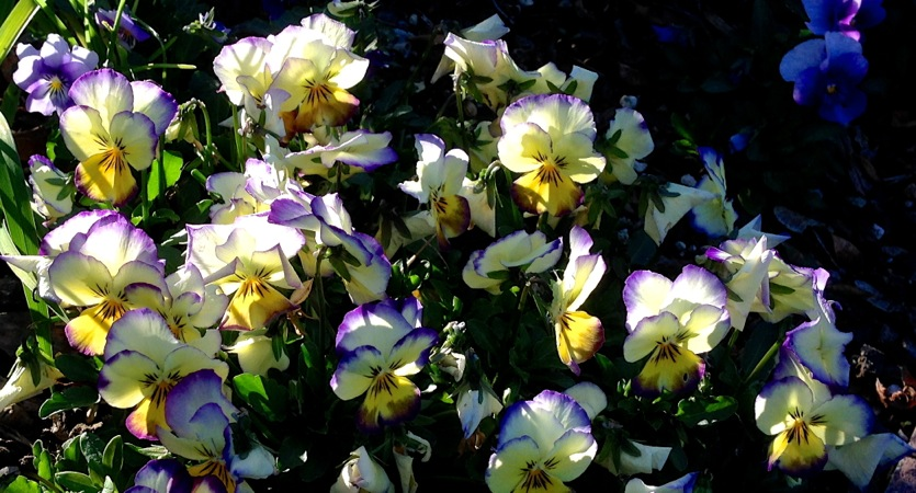 03-14 Pansies in WIllow Glen