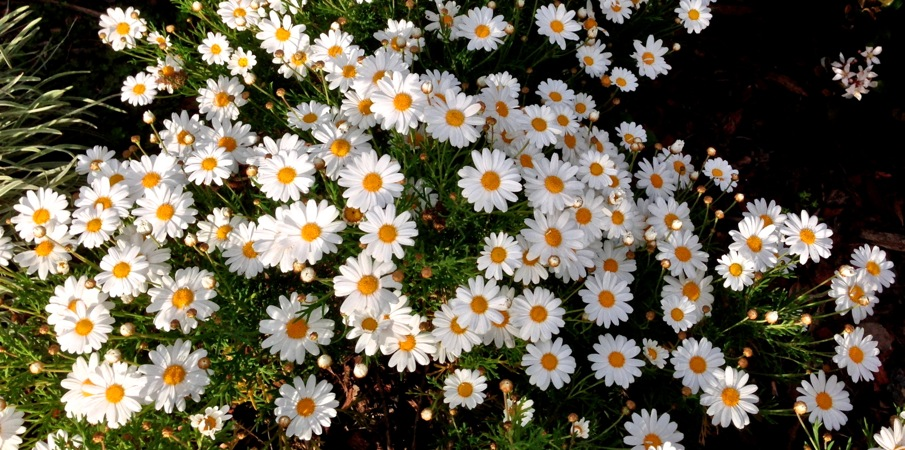 04-15 Daisies Multiply