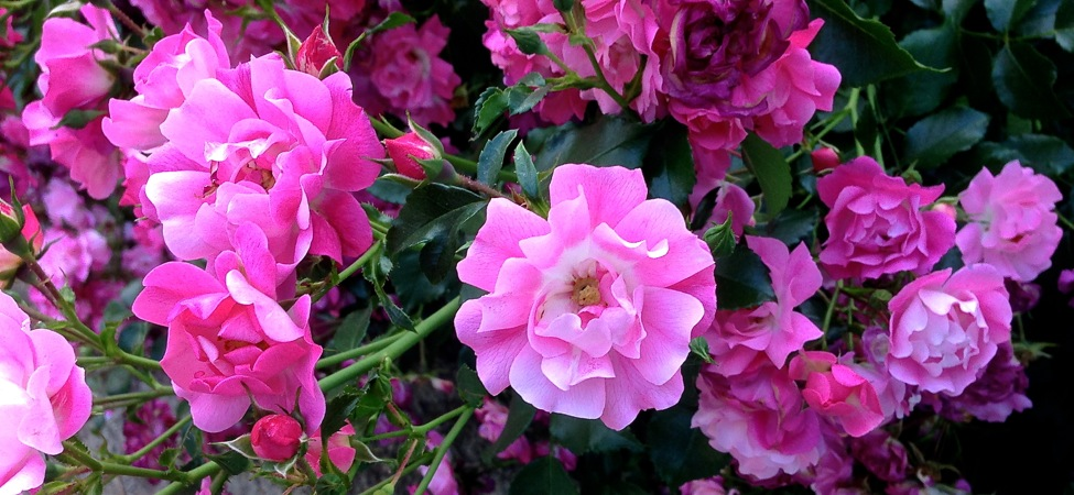 05-20 Pink Ground-Cover Roses