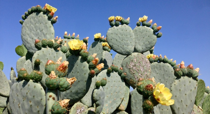 06-06 Prickly Pear