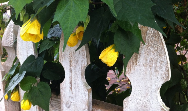 06-10 Yellow Abutilons