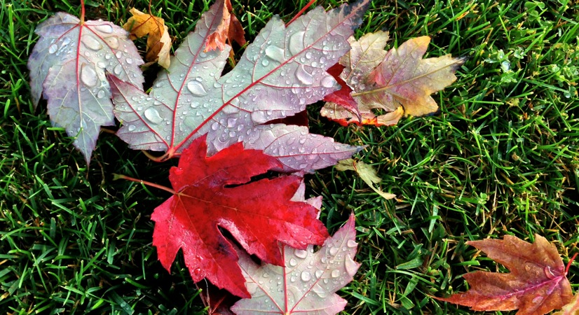 Willow Glen, red leaf, water drops